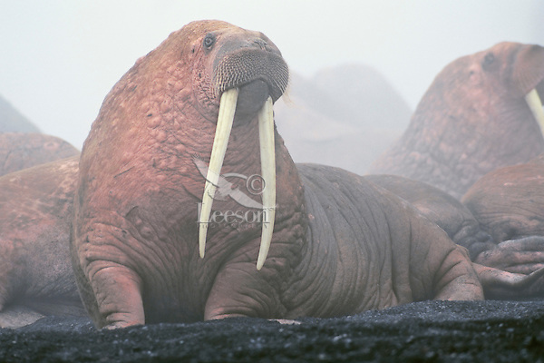 Walrus bulls (Odobenus rosmarus) hauled out along the Alaska Peninsula's Bering Sea coast.  Summer.  Note: Fog caused by heat of so many walrus bodies packed together in the cool air.