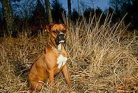 Boxer dog sitting in woods at dusk