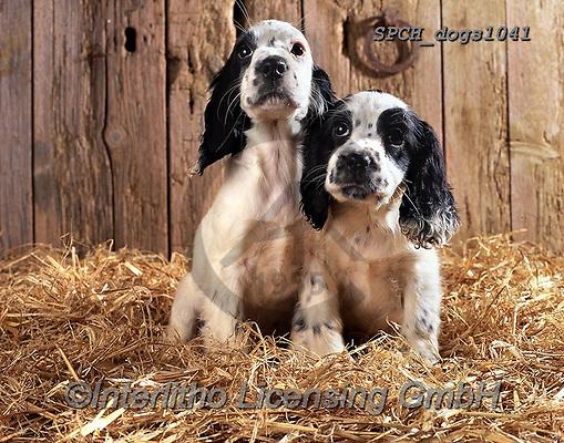 Xavier, ANIMALS, REALISTISCHE TIERE, ANIMALES REALISTICOS, dogs, photos+++++,SPCHDOGS1041,#a#, EVERYDAY