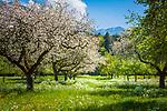 Deutschland, Bayern, Rosenheimer Land, bei Bad Feilnbach: Streuobstwiese - im Hintergrund das Mangfallgebirge | Germany, Bavaria, Rosenheim County, near Bad Feilnbach: orchard meadow