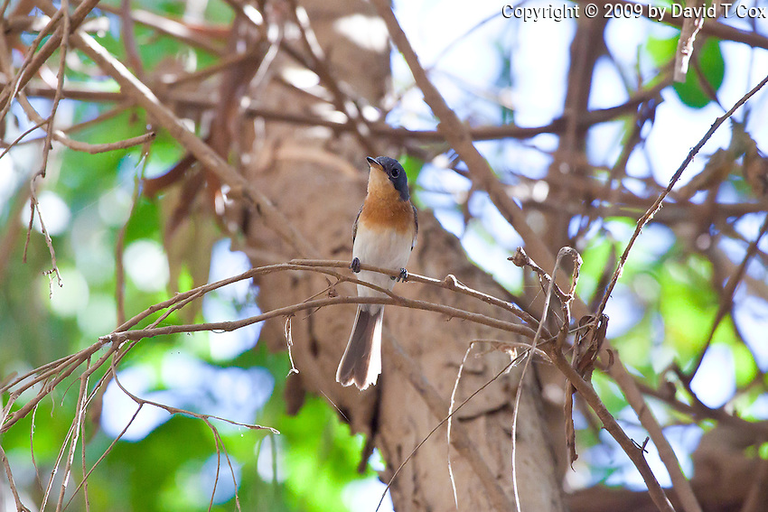 Broad-Billed Flycatcher, Katherine, NT, Australia