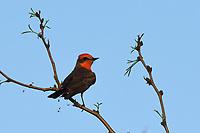 Vermilion Flycatcher, San Angelo