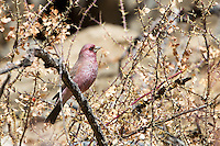 Spotted Great Rosefinch at Ulley in the Ladakh Range