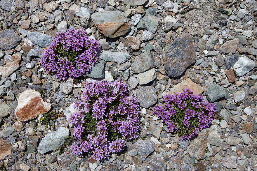 Round-leaved Penny Cress {Thlaspi rotundiflora subsp rotundiflora} in flower on rocky plane at 2500 metres altitude. Aosta Valley, Monte Rosa Massif, Pennine Alps, Italy. July.Aosta Valley, Monte Rosa Massif, Pennine Alps, Italy. July.