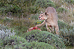 Female puma (Puma concolor) (southern subspecies Puma concolor puma) (in N. America, cougar or mountain lion) with young guanaco (chulengo) kill. Torres del Paine National Park, Patagonia, Chile.