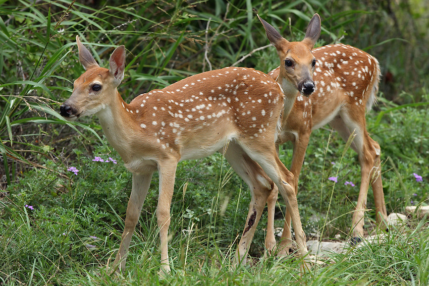 Whitetail fawns, early summer.<br /> Texas Hill Country.