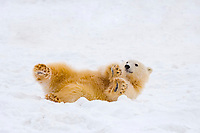 polar bear, Ursus maritimus, cub rolling around on the pack ice, 1002 coastal plain of the Arctic National Wildlife Refuge, Alaska, polar bear, Ursus maritimus