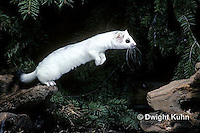 MA28-118z  Short-Tailed Weasel - ermine leaping, exploring forest in winter - Mustela erminea