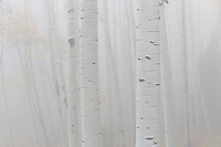 """Driving up Owl Creek Pass near sunset, I suddenly found myself """" in the clouds"""" as a think layer of fog swallowed up all details.  I thought it fit with the abstract nature of the white aspen trunks in this image."""