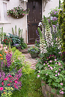 Foxglove Digitalis, Aquilegia columbine, Fuchsiain pot container against house, geraniums, evergreen shrub, Nepeta, salvia, alchemilla, dianthus, hosta, house window and front entry door, mixed plantings in spring garden . Board and batten door
