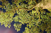 AMSTERDAM-HOLANDA- Vista nocturna de un árbol en contrapicado./ Night high angle view of a tree.   Photo: VizzorImage/STR