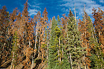 dying conifers, lodgepole pine, beetle kill, trees, forest, mountain pine beetle, natrual history, nature, October, Kawuneeche Valley, Rocky Mountain National Park, Colorado, USA