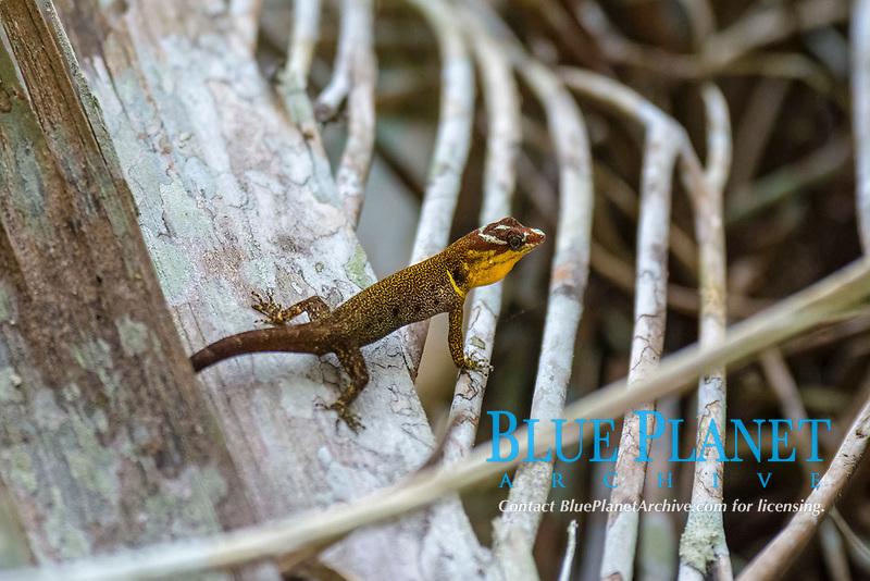 Trinidad gecko, or bridled forest gecko, Gonatodes humeralis, flooded rainforest or varzea, Cuyabeno Wildlife Reserve, Orellana, Ecuador