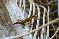 Trinidad gecko, or bridled forest gecko, Gonatodes humeralis, flooded rainforest or varzea, Cuyabeno Wildlife Reserve, Orellana, Ecuador
