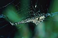 Federfußspinne, Uloborus walckenaerius, Kräuselradnetzspinnen, Uloboridae