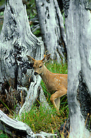Very young Black-tailed deer fawn (Odocoileus hemionus), Pacific Northwest, summer.