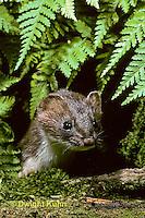 MA28-040z  Short-Tailed Weasel - ermine in brown summer coat - Mustela erminea