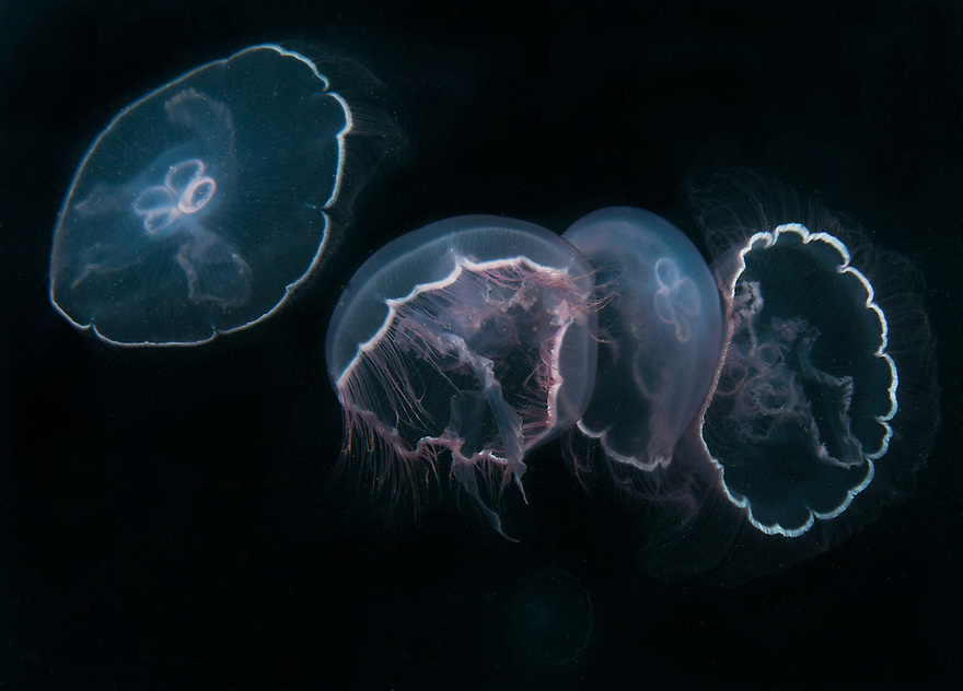 Several Moon Jelly Fish captured together.