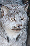 Canada Lynx close-up of face, vertical