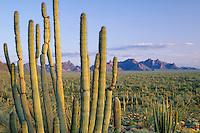 Organ pipe cactus<br /> Ajo  Range<br /> Organ Pipe Cactus National Monument<br /> Sonoran Desert,  Arizona