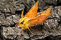 Canary-shouldered thorn moth {Ennomos alniaria}. Peak District National Park, Derbyshire, UK. September.