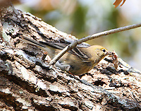 First year female pine warbler with lunch