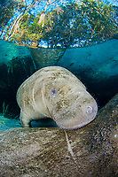 A curious young Florida Manatee, Trichechus manatus latirostris, peeks over it's mothers back at Three Sisters Spring in Crystal River, Florida, USA. The Florida Manatee is a subspecies of the West Indian Manatee.
