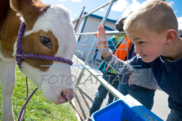 Ryder Rubke, 6, of Fremont Elementary School in Carson City, Nev., participates in the cow plop fundraiser, where he was able to meet Buttercup, a Holstein Ayrshire mix.<br /> Photo by Candice Nyando