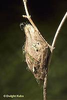 LE26-078z  Cecropia Moth - cocoon ready for winter - Hyalophora cecropia