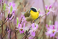 common yellowthroat, Geothlypis trichas, male, perched on pinkish-purple rhodora flowers, Rhododendron canadense, Nova Scotia, Canada