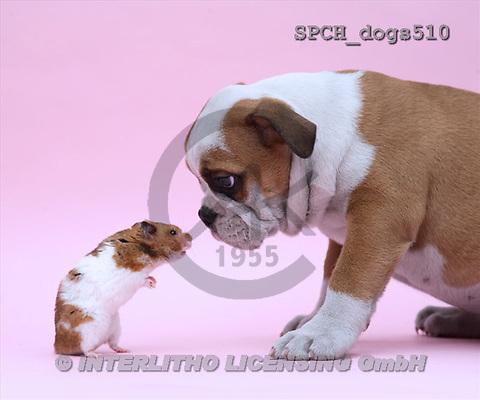 Xavier, ANIMALS, dogs, photos(SPCHdogs510,#A#) Hunde, perros