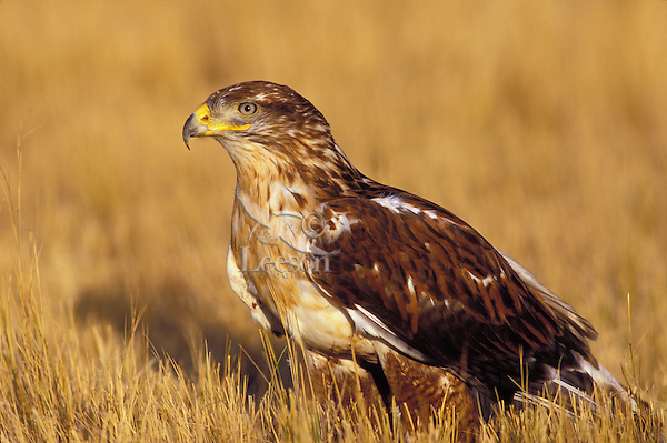 Ferruginous Hawk. Canadian Prairies. (Buteo regalis).
