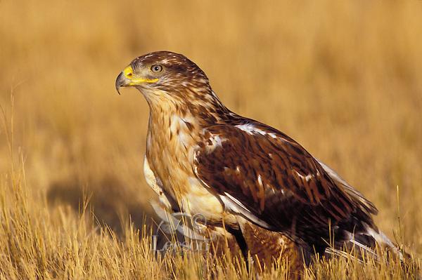 Ferruginous Hawk. Canadian Prairies. (Buteo regalis).
