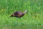 Hen turkey walking in a northern Wisconsin meadow.