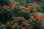 9787-CC African Tulip Tree, Spathodea campanulata, Bignoniaceae, flowering branches, at Waimea Valley, Oahu, Hawaii