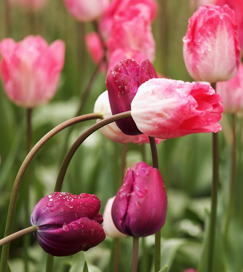 Purple tulips, Roozengaarde gardens, Mount Vernon, Skagit Valley, Washington, USA