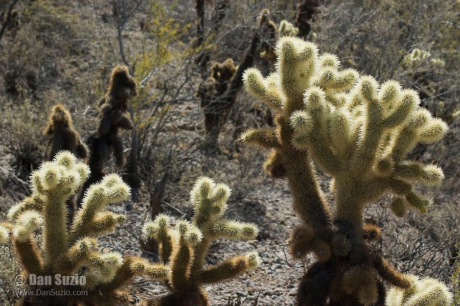 Jumping cholla, Cylindropuntia bigelovii. Saguaro National Park, Arizona