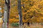 Europa, DEU, Deutschland, Hessen, Nordhessen, Weserbergland, Herbst, Reinhardswald, Wald, Herbstliche Faerbung, Baeume, Kategorien und Themen, Natur, Umwelt, Landschaft, Jahreszeiten, Stimmungen, Landschaftsfotografie, Landschaften, Landschaftsphoto, Landschaftsphotographie, Naturschutz, Naturschutzgebiete, Landschaftsschutz, Biotop, Biotope, Landschaftsschutzgebiete, Landschaftsschutzgebiet, Oekologie, Oekologisch, Typisch, Landschaftstypisch, Landschaftspflege....[Fuer die Nutzung gelten die jeweils gueltigen Allgemeinen Liefer-und Geschaeftsbedingungen. Nutzung nur gegen Verwendungsmeldung und Nachweis. Download der AGB unter http://www.image-box.com oder werden auf Anfrage zugesendet. Freigabe ist vorher erforderlich. Jede Nutzung des Fotos ist honorarpflichtig gemaess derzeit gueltiger MFM Liste - Kontakt, Uwe Schmid-Fotografie, Duisburg, Tel. (+49).2065.677997, fotofinder@image-box.com, www.image-box.com]