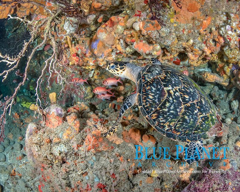 hawksbill sea turtle, Eretmochelys imbricata, Dominica, Caribbean Sea, Atlantic Ocean