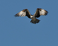 Osprey hovers preparing to dive fora fish.