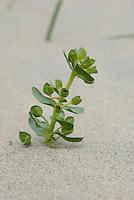 Zeewolfsmelk ( Euphorbia paralias)