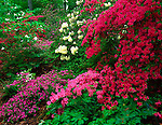 U.S. National Arboretum, Washington D.C.<br /> Azaleas and rhododendrons blooming in the Historic Glenn Dales; south area of Mount Hamilton in the Azalea Collections