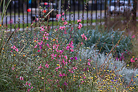 Clarkia unguiculata (Elegant Clarkia) with Layia platyglossa and Abutilon palmeri with California native wildflowers in pollinator garden at Los Angeles Natural History Museum