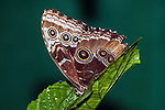 blue morpho butterfly with wings foldered up
