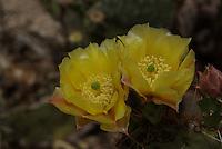Desert Prickly Pear Cactus(Opuntia phaeacantha) flowers seen in southern Arizona.