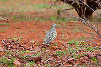 Common Bronzewing, road to Mt Grenfell Rock Art, NSW, Australia