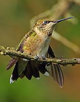 Subadult male ruby-throated hummingbird stretching