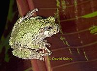 "0917-07pp  Gray Tree Frog - Hyla versicolor ""Virginia"" © David Kuhn/Dwight Kuhn Photography"
