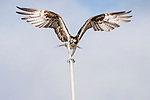 Del Mar, California; an adult Osprey, with wings spread, balances itself after landing on the metal pole