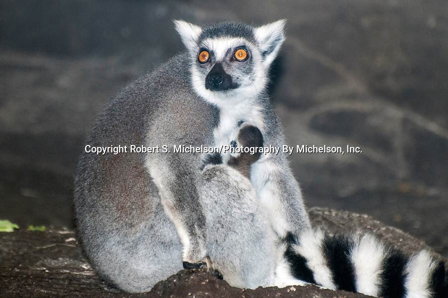 ring-tailed lemur with newborn twins, young dark head sticking out from under mothers arm, young lemurs were born 20 minutes bfore photo was taken
